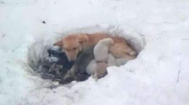 В заснеженный день собака прятала щенков в яме, не давая малышам замёрзнуть
