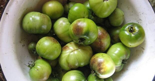 Фитофтора: как спасти томаты от этого недуга.