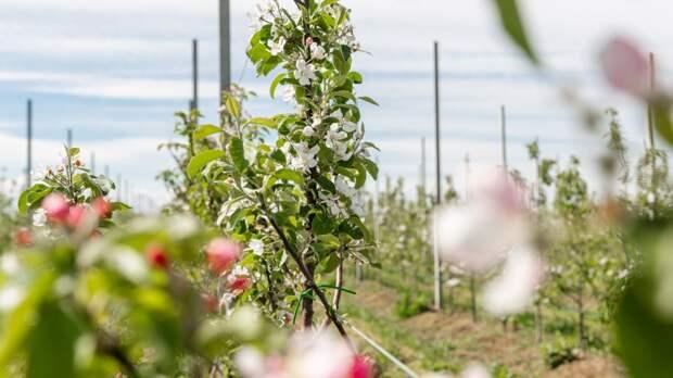 Суперинтенсивный яблоневый сад КФУ впервые расцвел