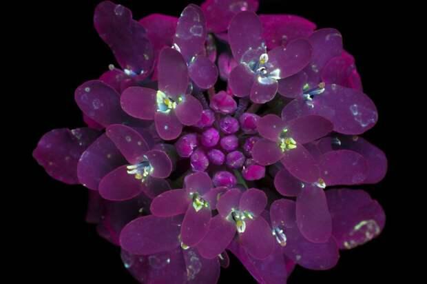 11 нереальных фото цветов под ультрафиолетом