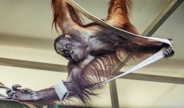 «Лесного человека» показал зоопарк Ростова