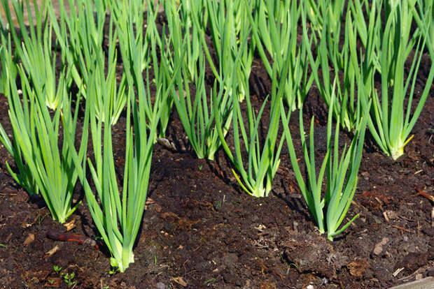 Лук - одна из древних овощных культур