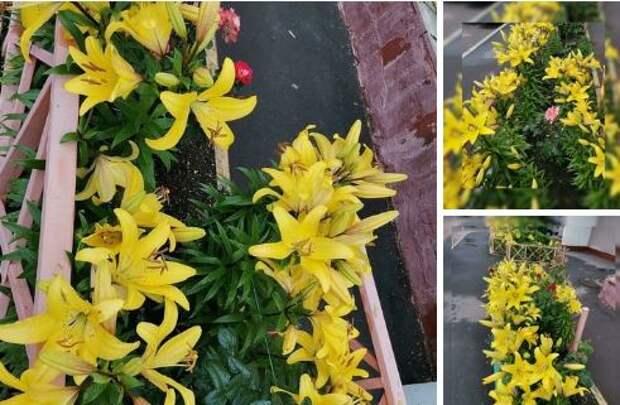 Жёлтые лилии украсили придомовую территорию на 9-й Северной линии