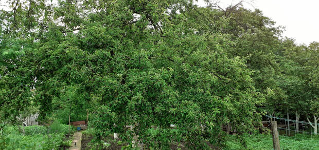 Яблоня, фото автора