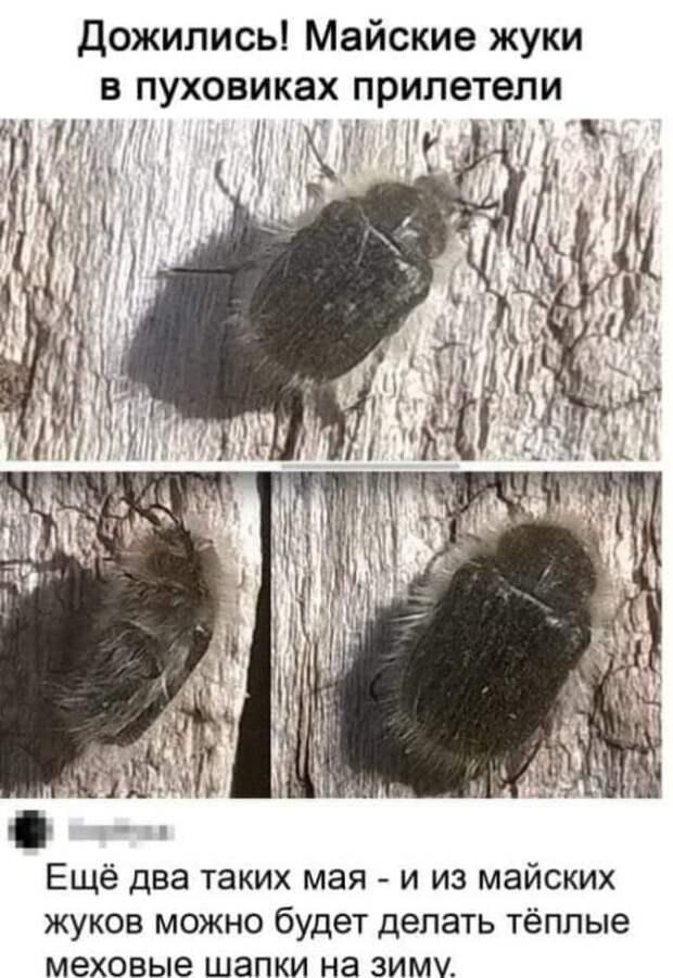 Возможно, это изображение (текст «дожились! майские жуки в пуховиках прилетели ещё два таких мая и из майских жуков можно будет делать тёплые метовые шапки на зиму»)