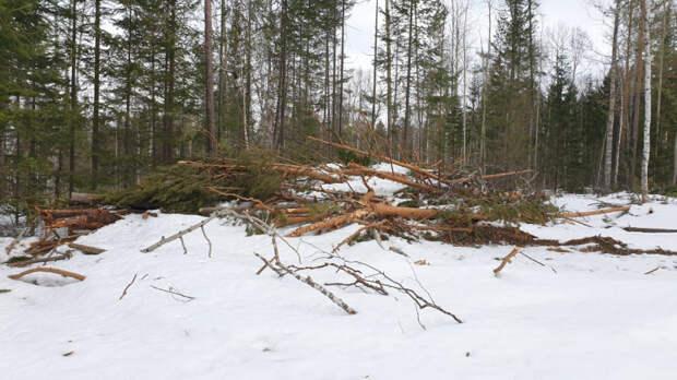 """""""Чёрным лесорубам"""" грозит до семи лет колонии за спил леса на 9,5 миллионов рублей в Тайшетском районе"""