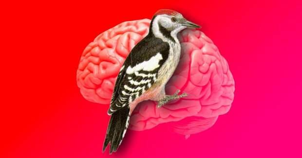 Почему дятел не получает сотрясение мозга?