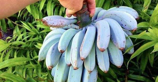 Сорт банана Голубая Ява, который, как говорят, имеет такую же консистенцию, как мороженое, и имеет аромат ванили подборка, прикол, теперь вы видели больше, удивительное, юмор