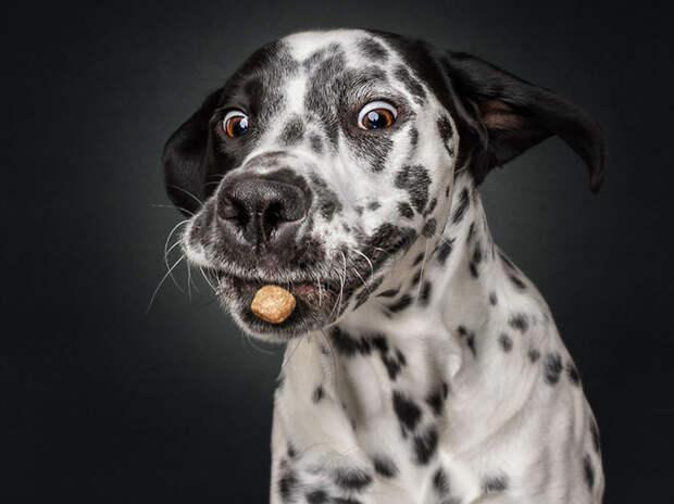 Захочешь вкусняшку — и не так раскорячишься: смешные собаки ловят еду