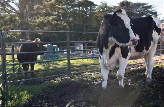 Самый большой бык в мире бык, животные