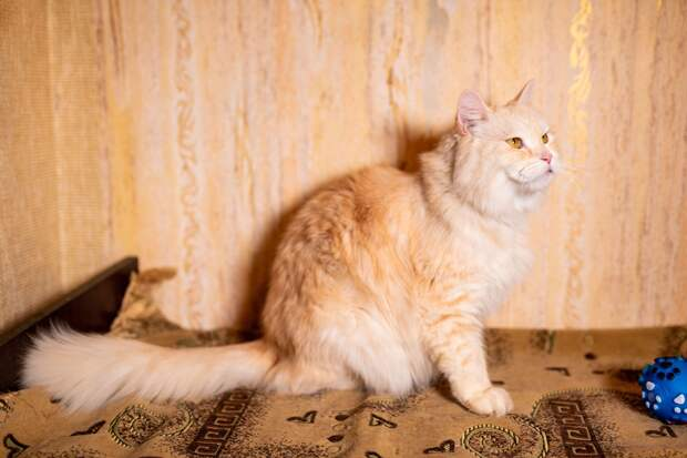 Нежно-персиковый окрас, персидская кровь, янтарные глаза - вот такой красавец ищет дом! Торопитесь!