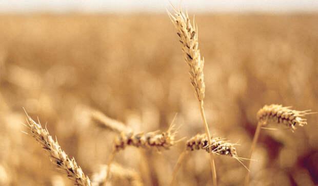 Уборочная вОренбуржье почти завершена, урожай оказался вдвое хуже прогнозов