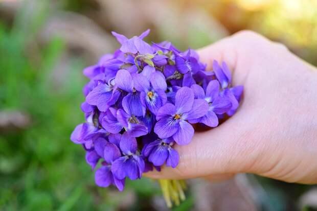 когда цветут фиалки в природе