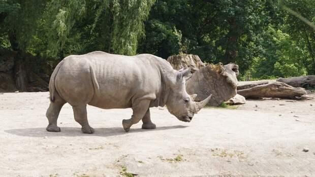 Один из крупнейших в мире саблезубых котов мог питаться носорогами и верблюдами