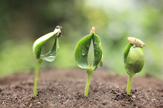 Огурец — по науке! Как правильно подготовить семена для посева
