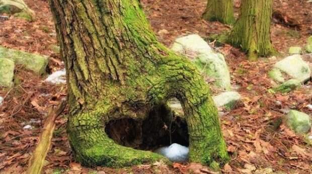 Лесорубы были поражены находкой: собака застряла в дереве и превратилась в мумию