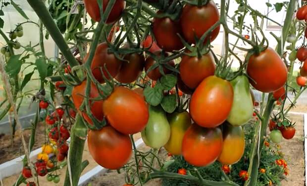 Больше у вас помидоры чернеть не будут. Супер защита от фитофторы без химии.