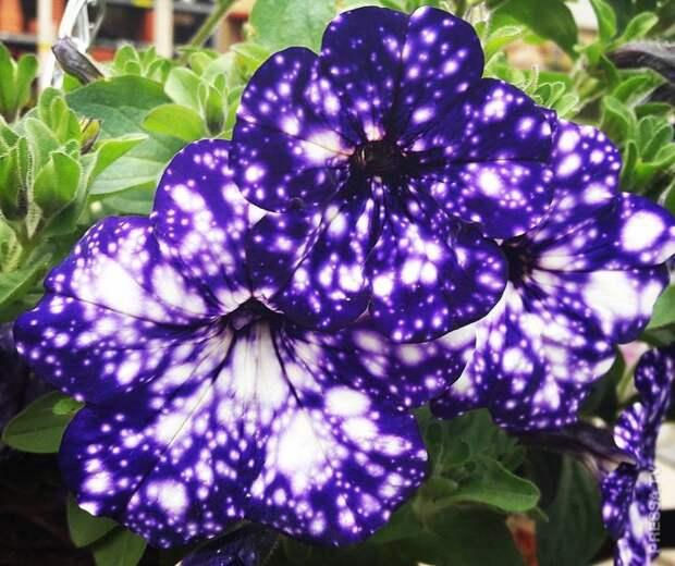 Эти цветки петуньи выглядят, как маленькие вселенные