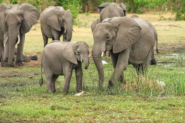 Стадо диких слонов угрожает Китаю