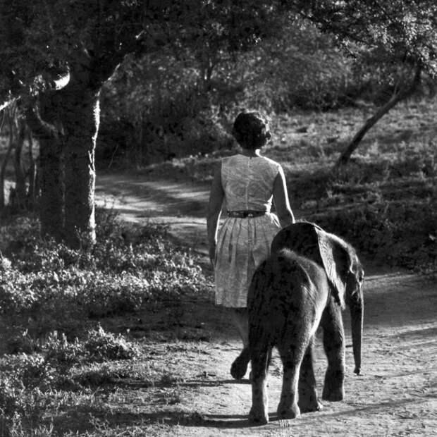 История о невероятной любви между человеком и слонами