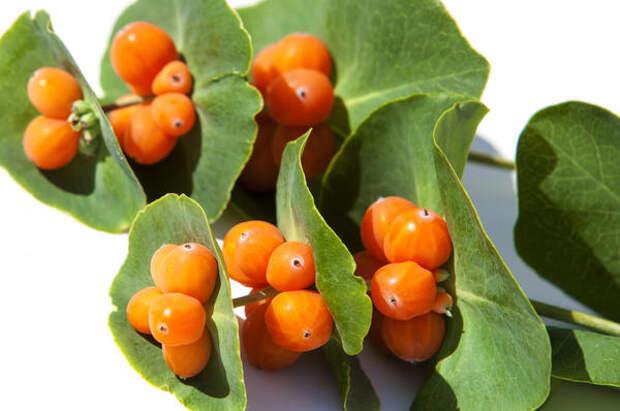 Яркие плоды жимолости каприфоль