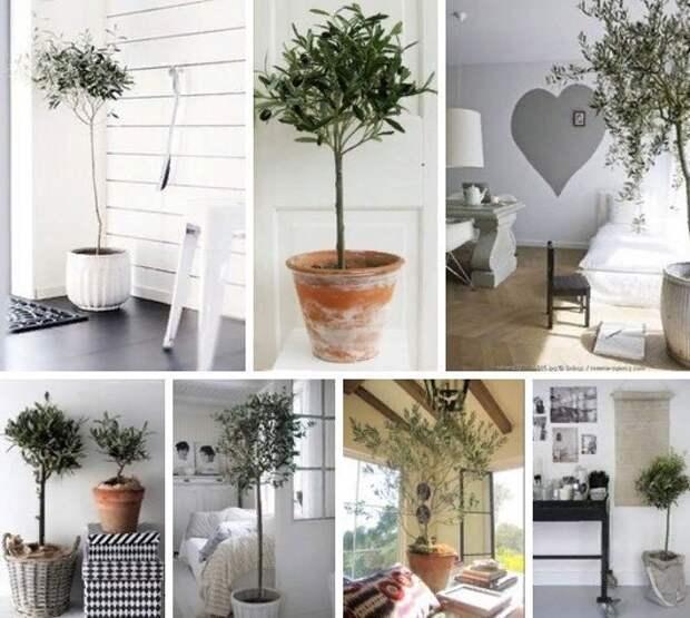 Оливковое дерево дома!!!