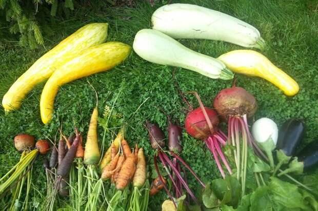 Личный опыт. Как вырастить необычные сорта привычных овощей?