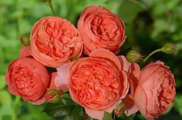 Роза Д. Остина Саммер Сонг