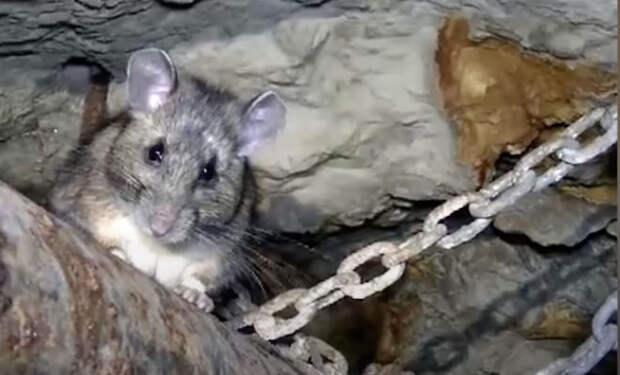 Шахтер всегда подкармливал под землей крысу