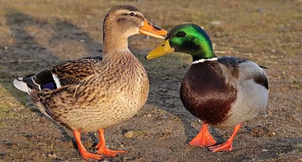 Виноваты «московские» утки: ученые заявили о новой опасной болезни