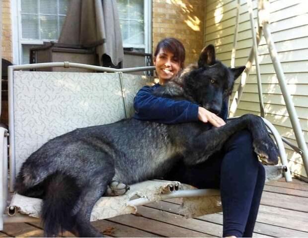 Хозяева взяли милых маленьких щеночков, а выросли настоящие гиганты!