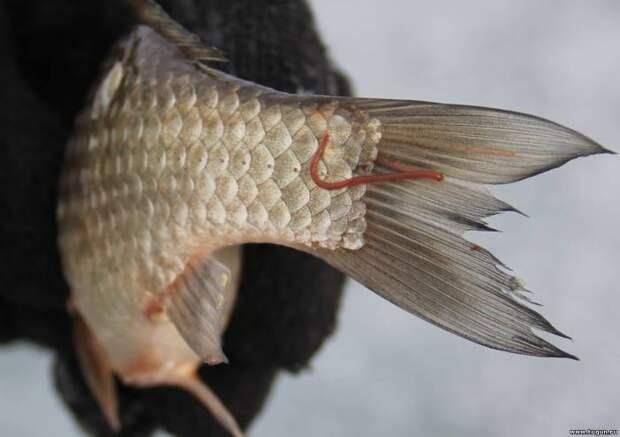 Для любителей малосольной рыбки. Паразиты и их портреты