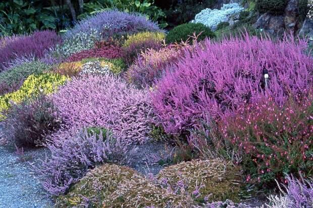 Как создать вересковый сад на своем участке