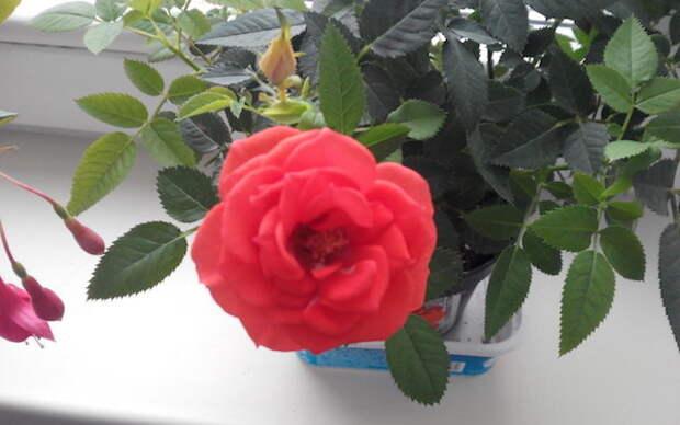 Роза кордана – комнатная малютка