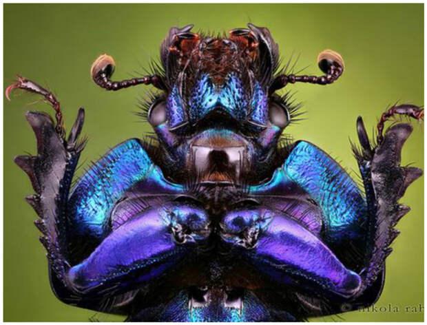 Раздел энтомологии, изучающий жесткокрылых, называется колеоптерологией. жуки, интересное, красивое, насекомые