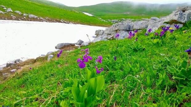 Цветущие в июле примулы (самые ранние весенние первоцветы), высота  2 100 метров