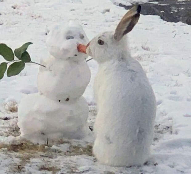 Съев морковку у снеговика, кролик насмешил всю Канаду