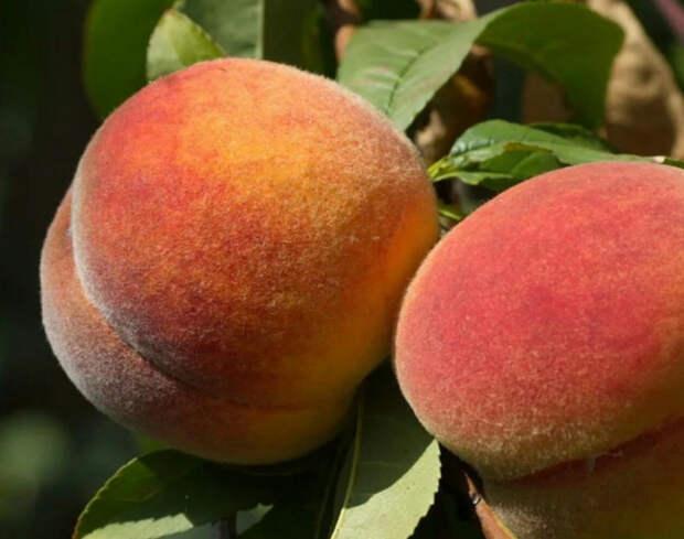 В Туапсинском районе собирают персики
