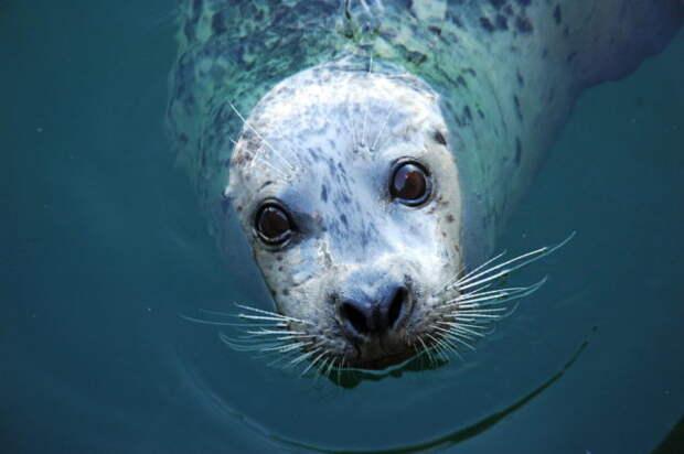 Зачем тюлени хлопают в ладоши?