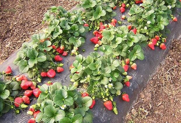 Будет ли урожай овощей на грядке, где росла клубника?