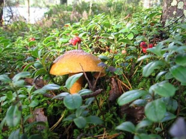 В Минприроды отрицают данные об ужесточении правил сбора грибов и ягод