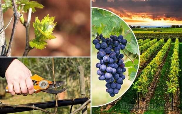 Чем подкормить виноград перед обрезкой и укрытием