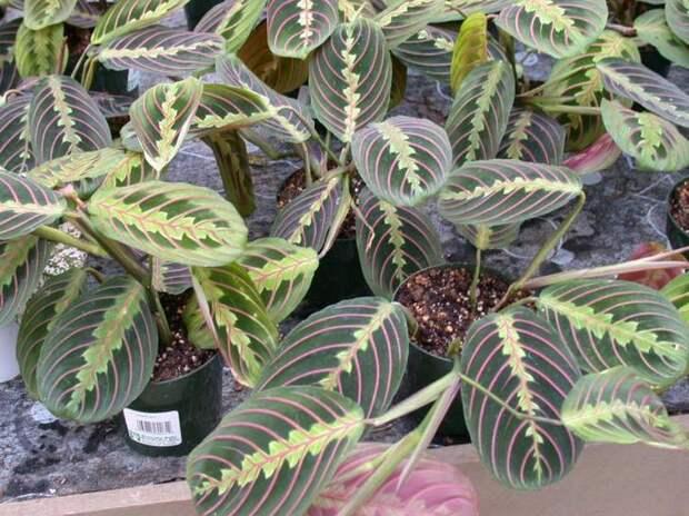 Разнообразие листвы кордилины