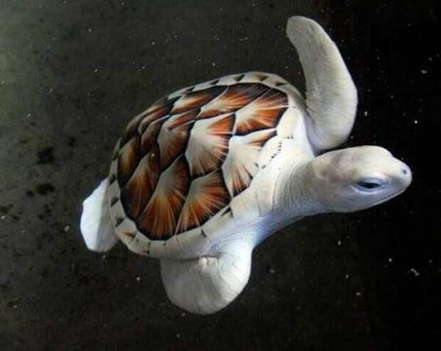 6. Морская черепаха альбиносы, животные, красота, окрас, цвет