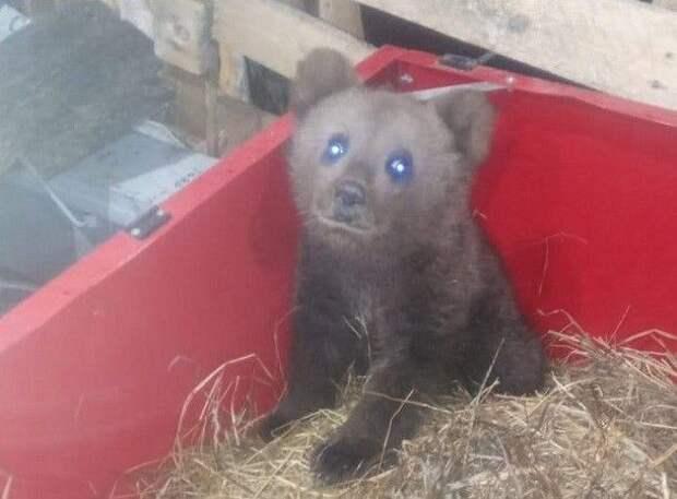 Найденный под Ухтой медвежонок ищет дом