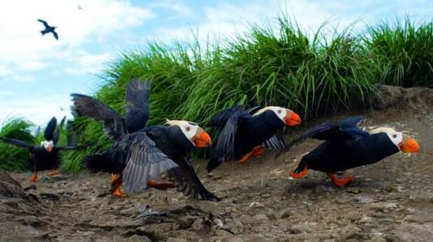 Топорок - самая яркая птица Арктики
