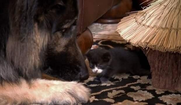 Котенок и овчарка