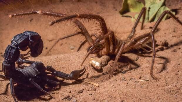 Скорпионы тоже не пальцем деланы. Для успешной охоты, сольпуга первым делом обезвреживает хвост соперника.