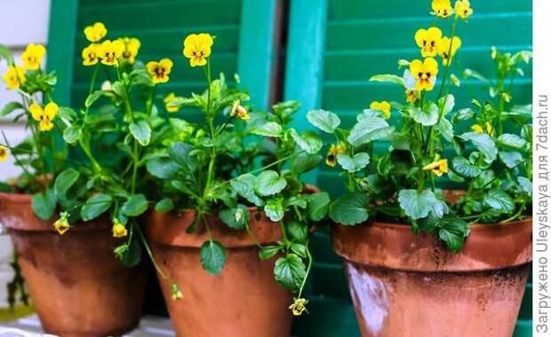 Фиалка Вильямса сорт Tiger Eye. Фото с сайта hedgerowrose.com