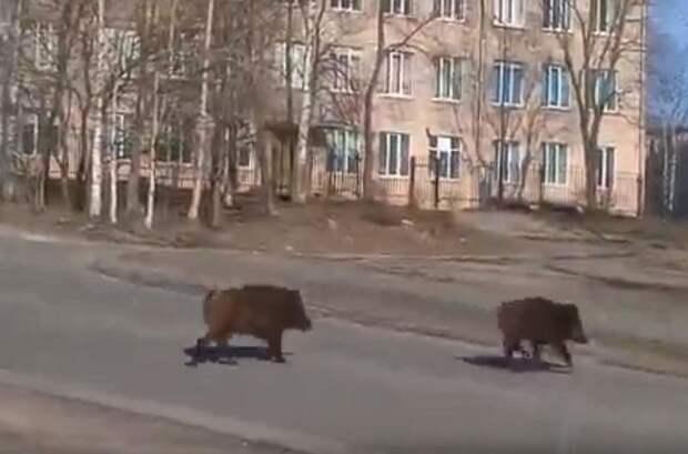 По Петрозаводску прогуливаются два кабана